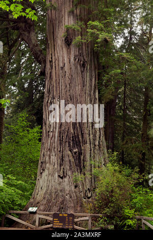 CA03615-00...CALIFORNIA - Big Tree, a popular feature of Prairie Creek Redwoods State Park; part of Redwoods National and State Parks complex. - Stock Photo