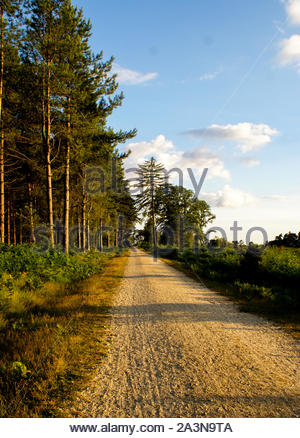 Early evening shadows being cast along a gravel track lined by Corsican pine trees - Stock Photo