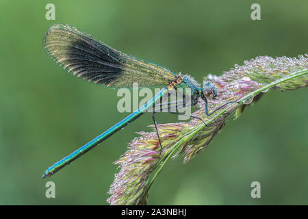 Male Banded Demoiselle Damselfly covered in dew (Calopteryx splendens) perched on grass. Tipperary, Ireland - Stock Photo