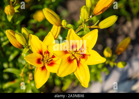 Yellow lily on a colored background in the garden - Stock Photo
