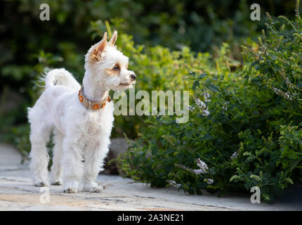 dog in garden, yorkshire,beautiful little white dog,space for text - Stock Photo