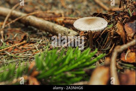 dapperling mushroom on forest floor with tree needles - Stock Photo