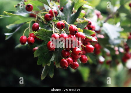 Red Fire thorn berries against green iron gate - Stock Photo