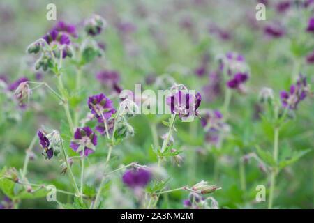 Geranium phaeum. Dusky Cranesbill flowers. - Stock Photo