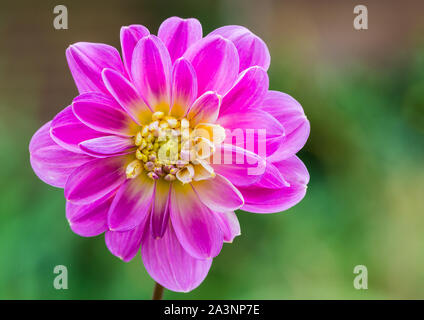 A macro shot of a pink dahlia take off bloom. - Stock Photo