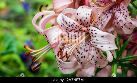 A macro shot of a tiger lily bloom. - Stock Photo
