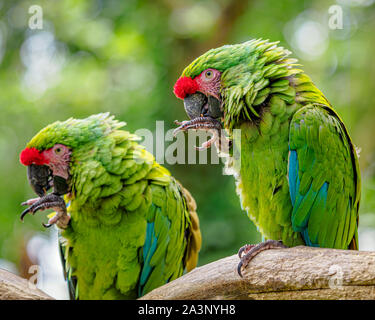 Pair of green military macaws busily cleaning their toes - Stock Photo