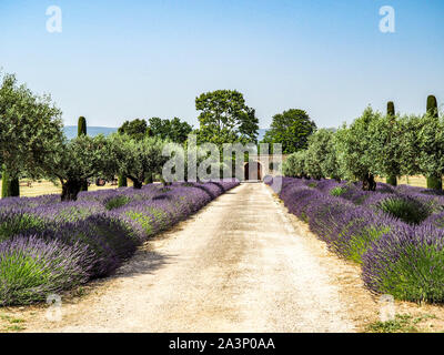 Beautiful lavender blooming along road lined with Italian Cypress trees