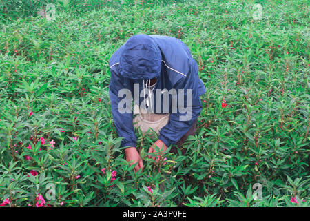 A village farmer who is gardening, harvesting flowers and leaves in a tea plantation in a traditional way using hand - Stock Photo