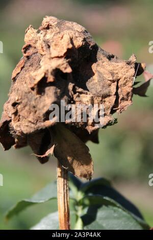 Dead and withered rose flower still in the garden. - Stock Photo