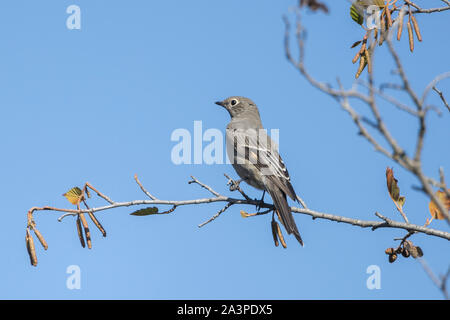 A northern Mockingbird is perched on a branch in western Montana. - Stock Photo