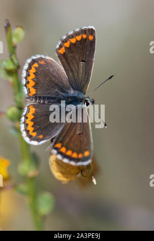 Southern Brown Argus (Aricia cramera) butterfly basking in the sun