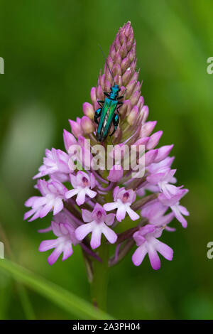 male Swollen-thighed Beetle (Oedemera nobilis) on the flower spike of a Pyramidal Orchid (Anacamptis pyramidalis) - Stock Photo