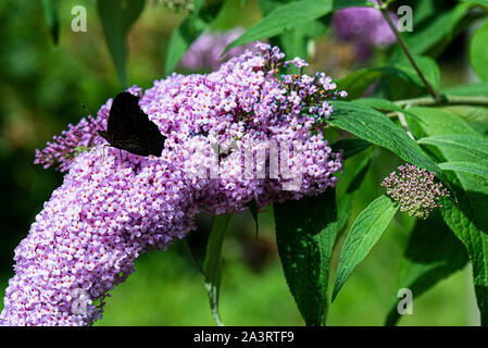 A peacock butterfly (Aglais io) with closed wings on a butterfly bush (Buddleja davidii) - Stock Photo