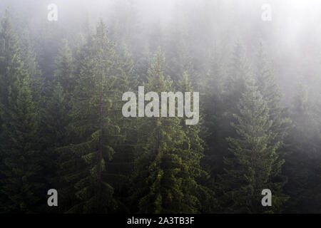 Misty fog in pine forest on mountain slopes in the Carpathian mountains. Landscape with beautiful fog in forest on hill. - Stock Photo