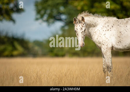 Knabstrupper Appaloosa Spotted Pony Foal in Grass Pasture - Stock Photo