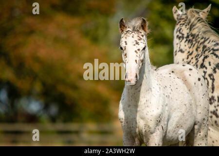 Knabstrupper Appaloosa Spotted Pony Foal in Grass Pasture - Stock Photo