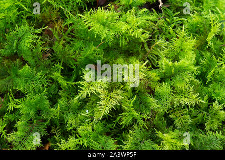 Moss growing on forest floor, Bolton Abbey, North Yorkshire, England. - Stock Photo