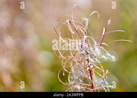 Rosebay Willowherb (epilobium angustifolium or chamerion angustifolium), close up of the seedhead after most of the seeds have been dispersed. - Stock Photo