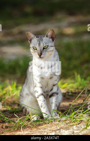 Egyptian Mau cat sitting on the ground, Ouvea Island, New Caledonia. - Stock Photo