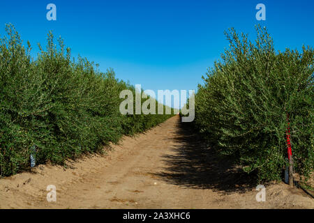 Many olive trees growing on plantations in rows in Andalusia near Cordoba, Spain, olive oil production - Stock Photo