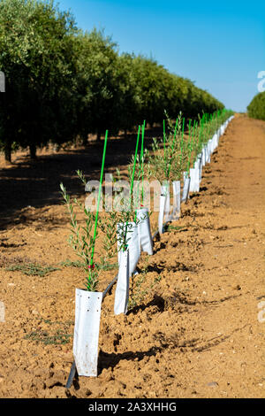 Young olive trees growing on plantations in rows in Andalusia near Cordoba, Spain - Stock Photo