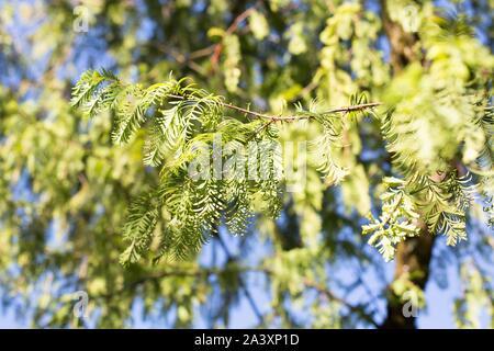 Metasequoia glyptostroboides - the dawn redwood tree. - Stock Photo