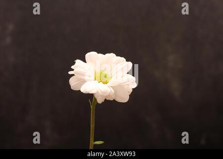 lonely chrysanthemum flower isolated on dark background - Stock Photo