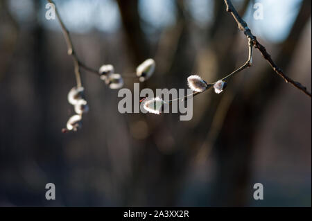 goat willow. Fragile willow blooming in spring. Willow twigs with young flower buds. Salix caprea. Family Salicaceae. - Stock Photo
