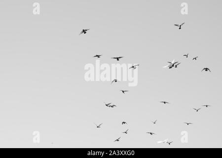 Bird pigeons fly in the sky. Bw photo. - Stock Photo