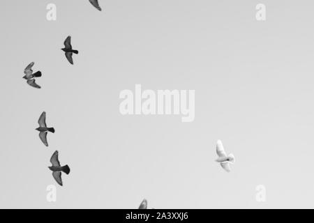 Bird pigeons fly in the sky. Black and white photo. Copy space - Stock Photo