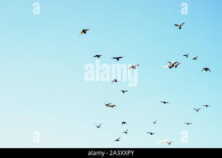 Bird pigeons fly in the blue sky. Copy space - Stock Photo