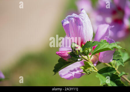 Rose of Sharon shrub, Althea, Hibiscus syriacus, Minerva althea, Hibiscus syriacus 'Minerva' in bloom with buds. USA - Stock Photo
