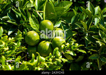 Close-up of green tangerines growing on a tree in Dalaman, Turkey - Stock Photo