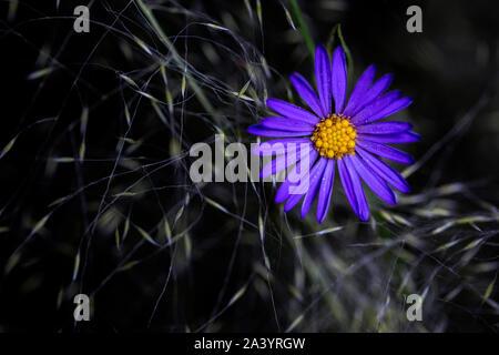 Lone Aster Flower (Asteraceae) against dark background at night - North Carolina Arboretum, Asheville, North Carolina, USA - Stock Photo