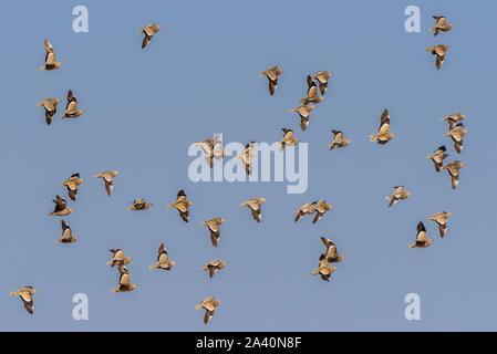 Burchell's sandgrouses (Pterocles burchelli), flock of birds flying, Nxai Pan National Park, Ngamiland, Botswana - Stock Photo