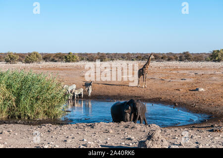 A herd of African Elephant -Loxodonta Africana- taking a bath in a waterhole in Etosha national Park. A group of Burchell's Plains zebra -Equus quagga burchelli- and one Giraffe are in the background. - Stock Photo