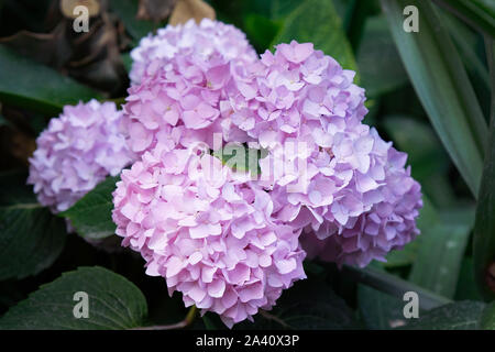 Beautiful pink hydrangea or hortensia flower close up. Artistic natural background. flower in bloom in spring - Stock Photo
