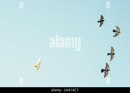 Five pigeon birds fly in the blue sky. Four grays fly in the front row and one white bird follows them. Copy space. Blurry - Stock Photo