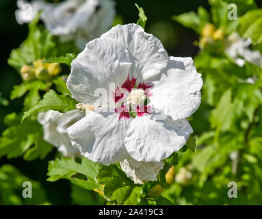 Hibiscus syriacus 'Red Heart' - Stock Photo