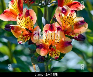Alstroemeria Indian Summer - Stock Photo
