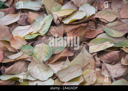 Autumnal background from the fallen leaves of the trees in autumn. Persimmon leaves in winter - Stock Photo