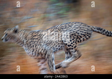 cheetah running in kruger park south africa close up - Stock Photo