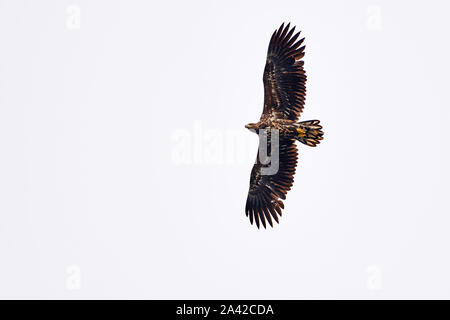 flying white-tailed eagle (Haliaeetus albicilla) from below, Andenes, Norway, Europe - Stock Photo