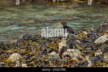 Eurasian oystercatcher (Haematopus ostralegus), Andenes, Norway, Europe - Stock Photo