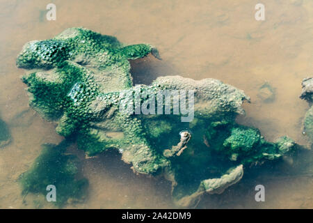 slimy algae in a puddle - Stock Photo