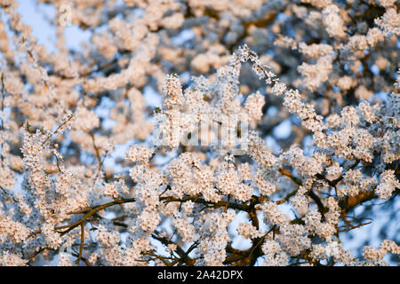 blooming apple tree. at sunny sunset. tree of white flowers. against the sky - Stock Photo