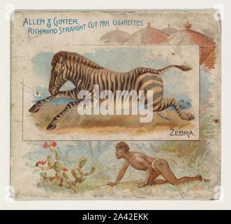 Zebra, from Quadrupeds series (N41) for Allen & Ginter Cigarettes.jpg - 2A42EKK - Stock Photo