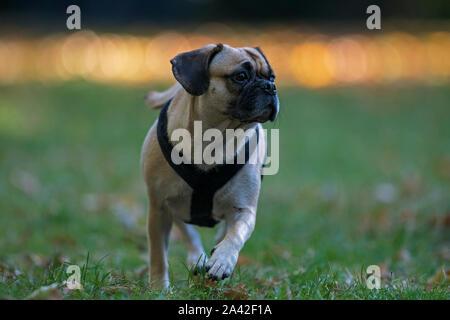 Puggle-Cross between a Pug and Beagle dog- Canis lupus familiaris. - Stock Photo