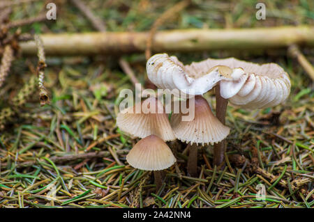 dapperling mushrooms growing on the forest floor in Europe in October - Stock Photo